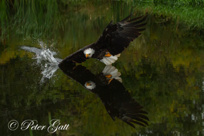 _MG_2848A-Bald-Eagle,-Wind-dip.png
