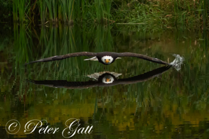 _MG_2904---Bald-Eagle,-Low-Glide.png