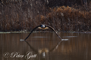 _MG_6606-Bald-Eagle,-Wind-double-touch.png